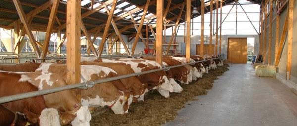 JOSERA Rinder im Stall stehend