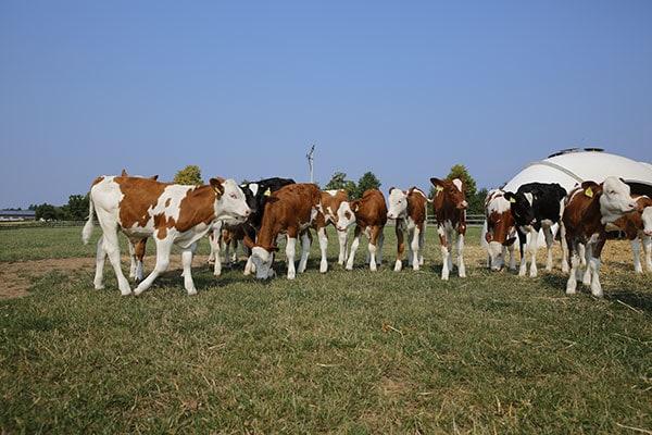 Weidehaltung für Kühe