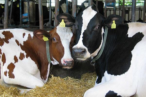 JOSERA Rinder im Stall auf STroh liegend