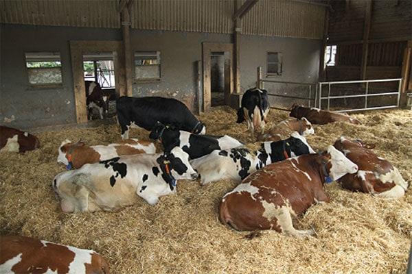 JOSERA Rinder liegend im Stroh
