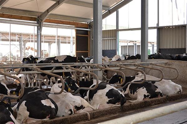 JOSERA Rinder in Liegeboxen liegend und stehend