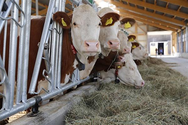 Probiotika beim Rind