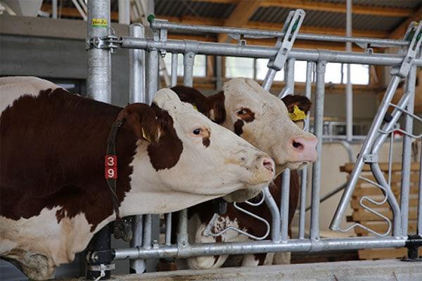 Fresh-Cow-Management: Probleme und Lösungen