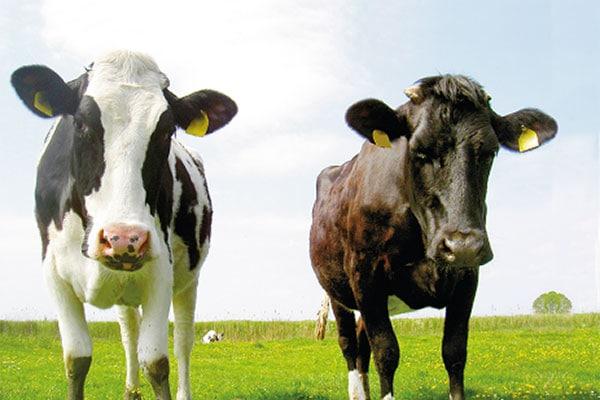 JOSERA Rinder auf dem Feld stehend