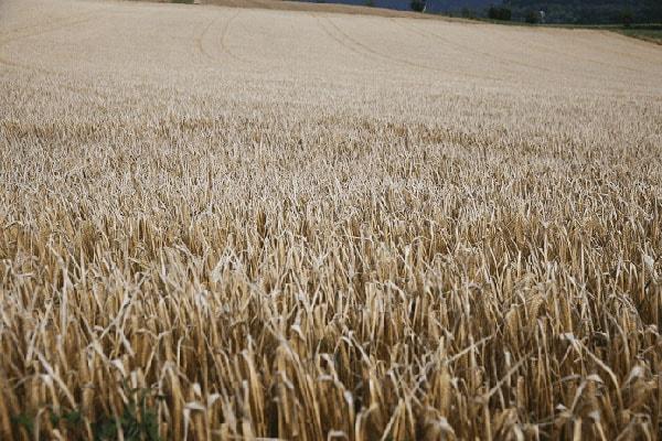 Getreide in der Milchviehfütterung - Möglichkeiten und Grenzen