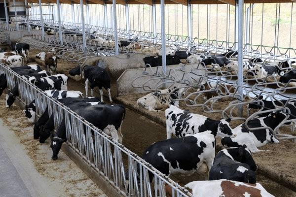 JOSERA Rinder in Liegeboxen und Fressständer