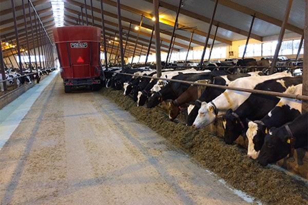 JOSERA Rinder im Stall während Fütterung