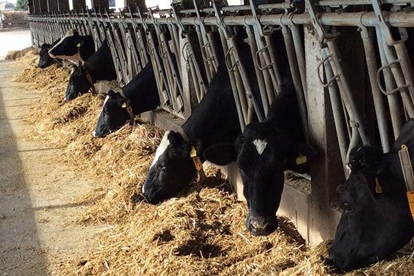 JOSILAC Rinder im Fressständer fressend