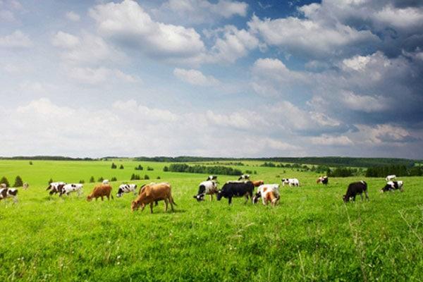 JOSERA Rinder auf der Weide stehend und fressend