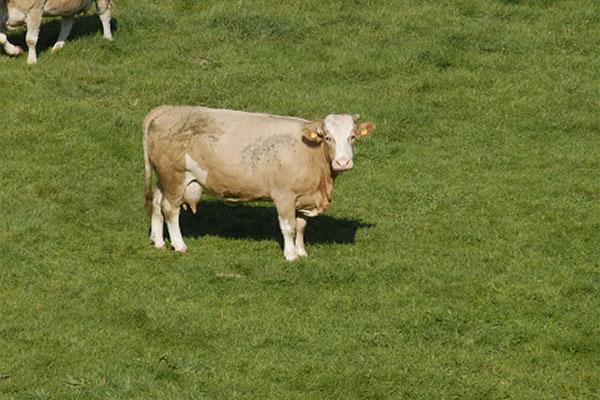 JOSERA Rind auf der Weide stehend