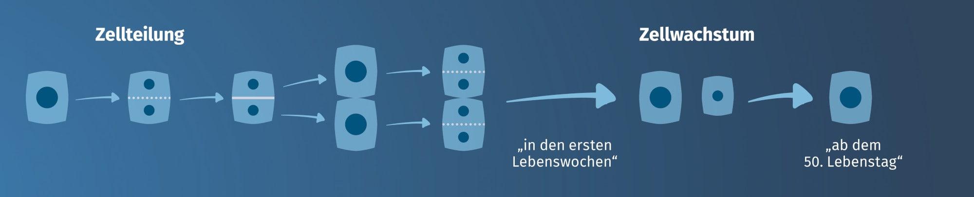 JOSERA Grafik zeigt Exkurs zur Zellteilung und Zellwachstum