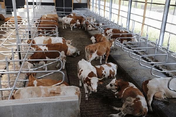 JOSERA Rinder im STall, Blick auf Liegeboxen