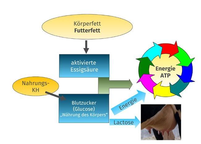 JOSERA Grafik zeigt Futterfett im Zusammenhang mit dem Stoffwechsel