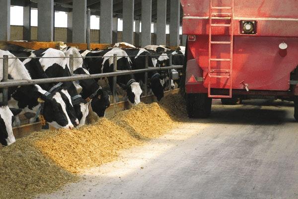 JOSERA Rinder im Stall während der Fütterung, Sicht auf Mischwagen