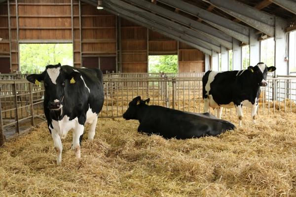 JOSERA Rinder im Stall auf Stroh stehend