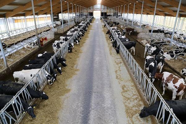 JOSERA Rinder im Stall stehend und fressend