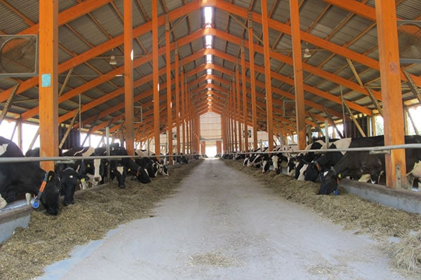 JOSERA Rinder im Stall, Sicht in die Stallgasse