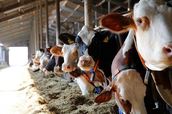 JOSERA Rinder im Fressständer stehend und fressend