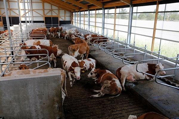 JOSERA Rinder in Liegeboxen liegend und stehend, Sicht von oben