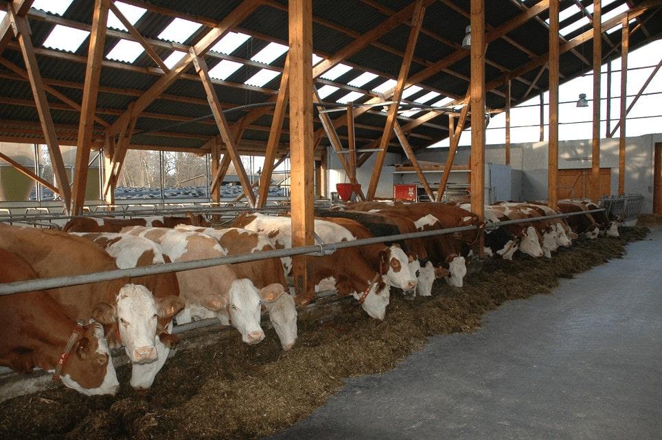 JOSERA Kühe im Stall am Futtertisch