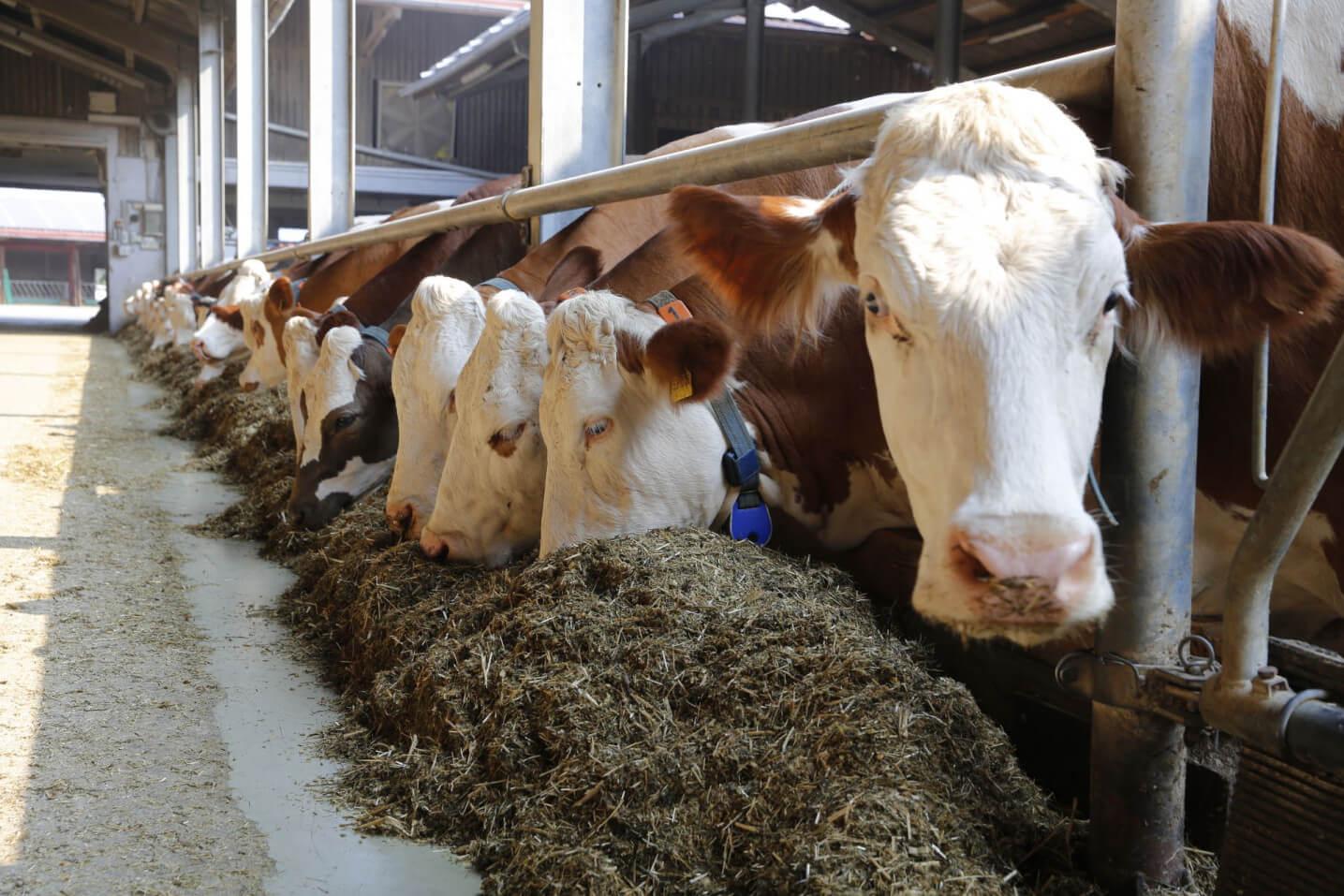 Fressende Kühe - JOSERA Agrar