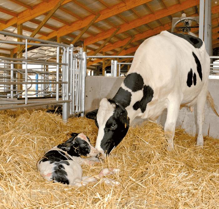 Kalb und Mutterkuh