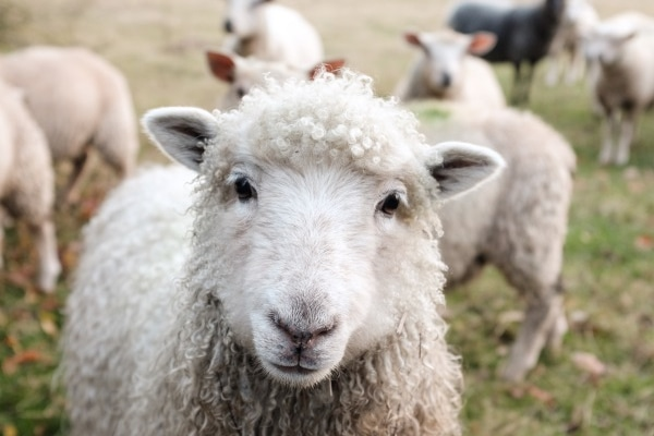 Futtermittel für Schafe